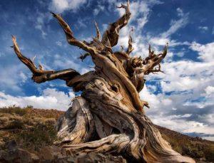 Methuselah Ağacı