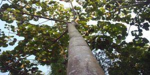 Balsa ağacı