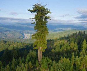 Dünyanın en uzun ağacı