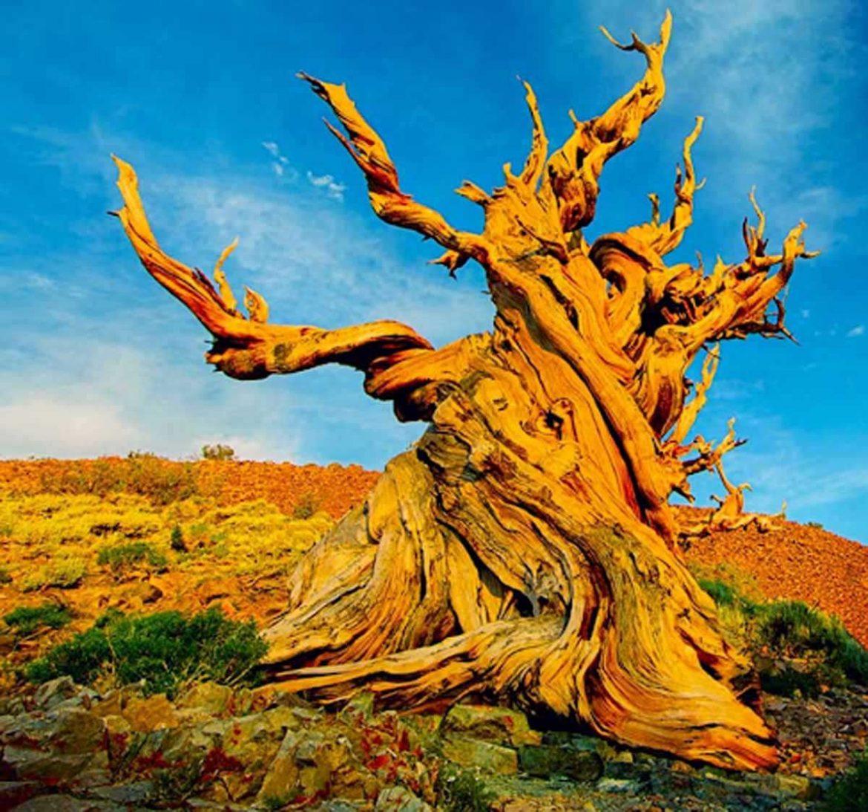 dünyanın en yaşlı ağaçları