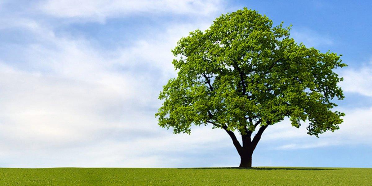 Dünyanın En Sağlam Ağacı