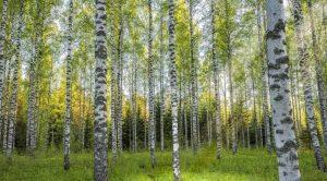 Huş ağacı özellikleri nelerdir