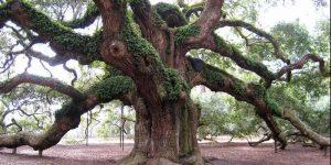 iroko ağacı