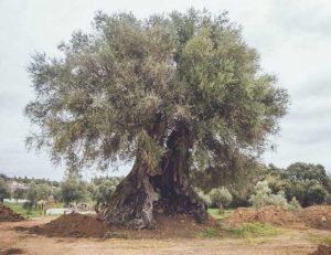 jurupa meşe ağacı