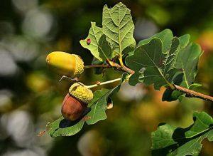 Meşe ağacı hakkında bilgiler