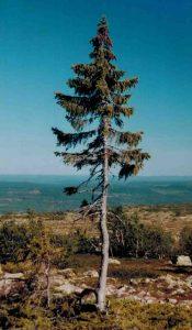 old tjikko ağacı