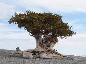 pinus longaeva ağacı