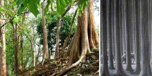 Tik Ağacı