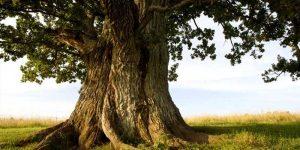 En sağlam ağaç